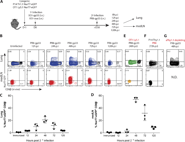 Microglia Require CD4 T Cells to Complete the Fetal-to-Adult TransitionGraphicalAbstract