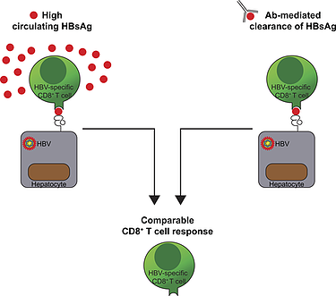 Serum HBsAg clearance has minimal impact on CD8+ T cell responses in mouse models of HBV infection
